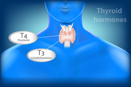 Human Thyroid Gland Anatomy. Thyroid hormones, triiodothyronine (T3) and thyroxine (T4).