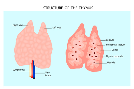 Anatomy of the thymus gland. Structure of the thymus. Illustration