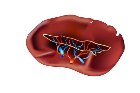 The Spleen .Human Anatomy. Vector illustration Illustration