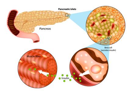 Illustrazione della produzione di insulina nel pancreas. Azioni metaboliche dell'insulina nel muscolo striato.