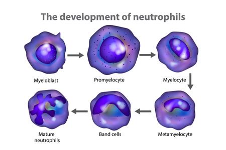 Neutrophils (neutrocytes). The development of neutrophils Illustration