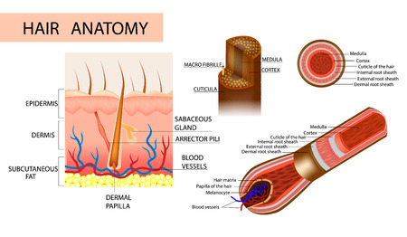 Structure of the hair. Anatomical illustration of hair bulb and hair follicle. Detailed medical illustration.