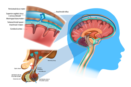 Anatomy of the Brain: Meninges, Hypothalamus and Anterior Pituitary. Showing the meninges and subarachnoid space