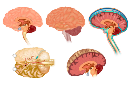 Human brain detailed anatomy from different views.