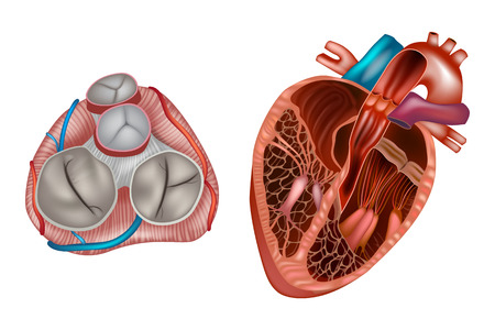 Heart valves anatomy. Mitral valve, pulmonary valve, aortic valve and the tricuspid valve. Stock Illustratie