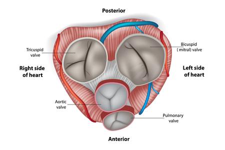 Aufbau der Herzklappen.