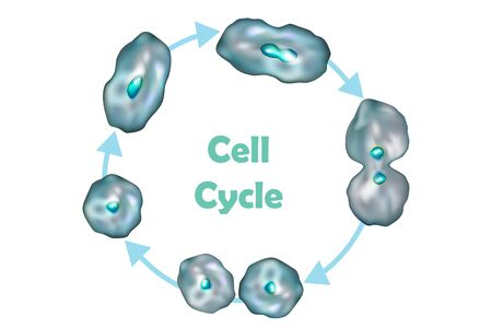 Cell Cycle (Cell division): from quiescence, Growth and DNA replication to Mitosis and Cytokinesis.