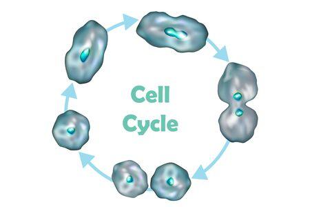 Ciclo celular (división celular): desde la inactividad, el crecimiento y la replicación del ADN hasta la mitosis y la citocinesis.