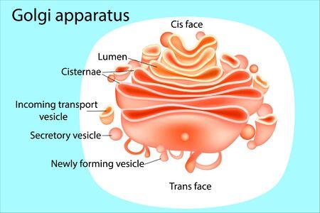 Golgi apparatus. Diagram Illustration