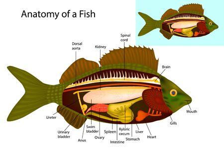 Anatomy of a fish. Fish internal organs. Vector illustration