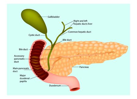The pancreas with surrounding vessels and organs (gallbladder and duodenum) Zdjęcie Seryjne - 142771463