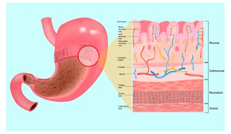 Human digestive system - Gastric mucosa and Layers of the Stomach.