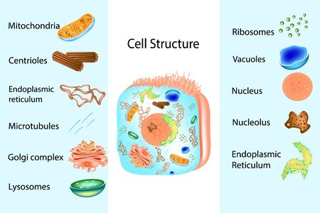 Structure and Components of Human Cell. Showing the inner structure of the cell.  イラスト・ベクター素材