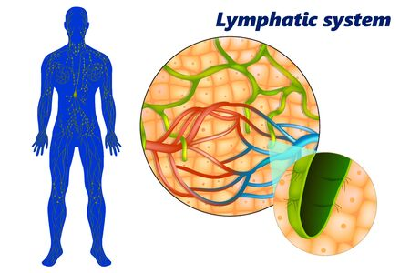 Human lymphatic system (lymphoid system). Lymph capillaries in the tissue spaces