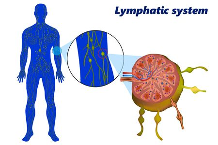Human lymphatic system (lymphoid system). A lymph node showing afferent and efferent lymphatic vessels
