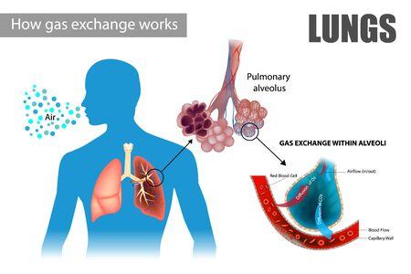 How gas exchange works. The pulmonary alveoli enable respiratory gas exchange Ilustracja