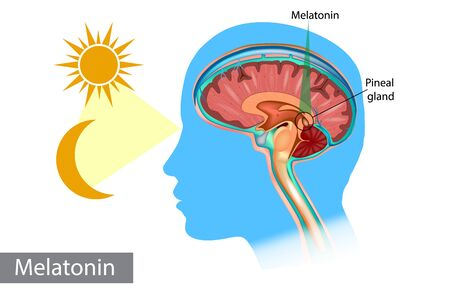 Melatonin hormone. Pineal gland anatomical cross section. Medical information poster. Stock Illustratie