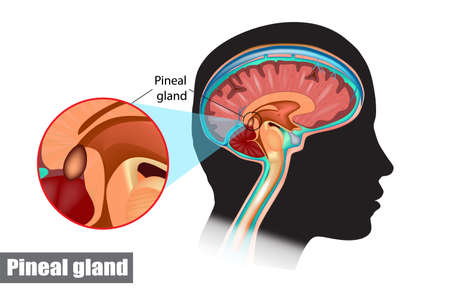 The pineal gland, conarium, or epiphysis cerebri. Diagram of pituitary and pineal glands in the human brain Zdjęcie Seryjne - 150622769
