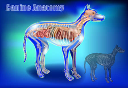 Canine Anatomy. Veterinary Chart 3D. The Dogs Body Systems Internal Organs. X-Ray
