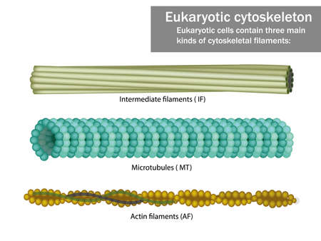 Three Eukaryotic cells cytoskeletal filaments microfilaments, microtubules, and intermediate filaments.