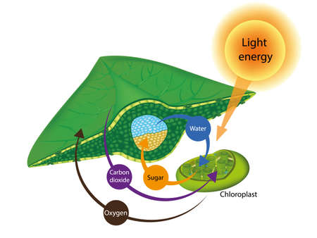 Photosynthesis Process in Plants. The structure of a leaf and Chloroplasts