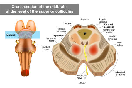 Midbrain or mesencephalon anatomy illustration. Cross-section of the midbrain at the level of the superior colliculus