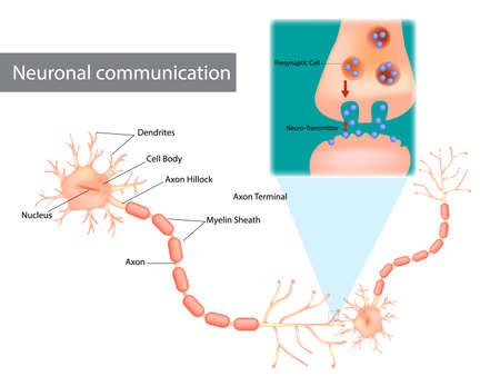 Neuronal communication. The dendrites contain receptors for neurotransmitters released by nearby neurons. Soma, dendrites, axons, terminal buttons, and synaptic vesicles. 矢量图像
