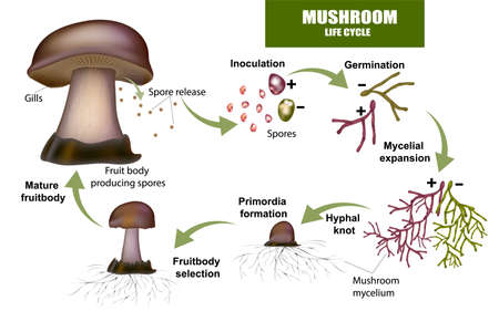 LIFE CYCLE MUSHROOM. Fruit body producing spores, Mushroom mycelium.