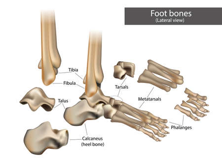The anatomical structure of the human foot bones.