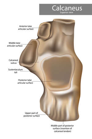 Calcaneus Anatomy. alcaneus or calcaneum, meaning heel or heel bone. Superior view. 矢量图像