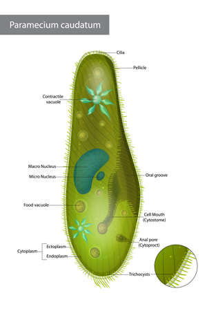 Structure Infusorian of the shoeshoe type or Paramecium caudatum. Paramecium caudatum is a species of unicellular protist in the phylum Ciliophora. 免版税图像