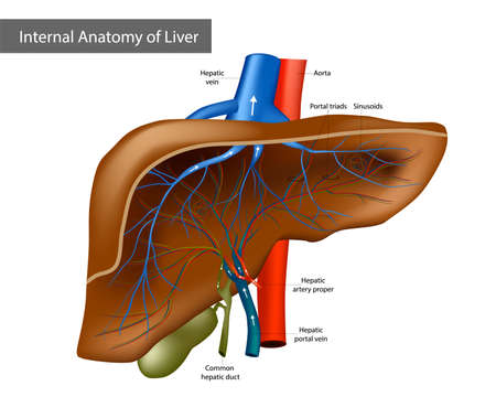 Internal Anatomy of Liver. Medical Illustration Human Anatomy