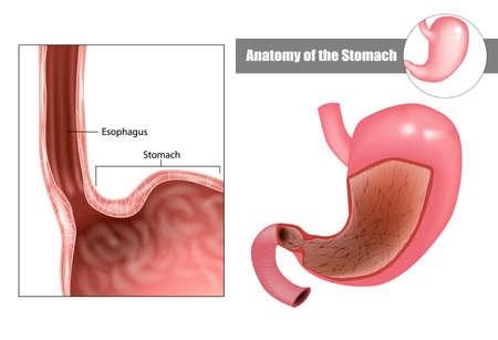 Anatomy of the stomach. Digestive system anatomy Medical illustration