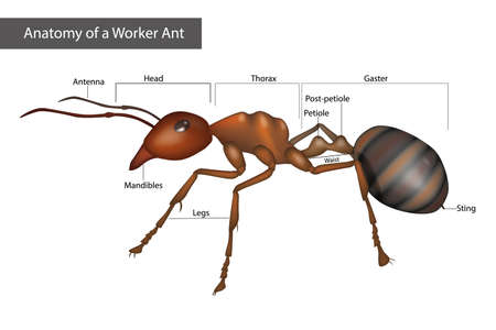 External Anatomy of a Worker Ant. Body structure. Diagram