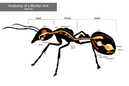 Internal Ant Anatomy. Physical Characteristics Common to all Ants 矢量图像