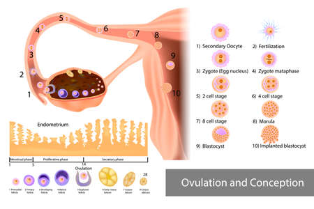 Ovulation and Conception Implantation. Fertilization and Development of a human embryo