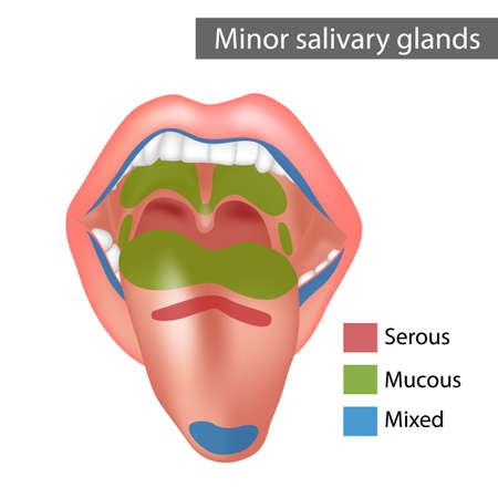 Minor salivary glands Mixed, Mucous, Serous. Anatomy