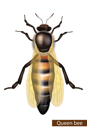 Realistic Queen bee on white background. Detailed