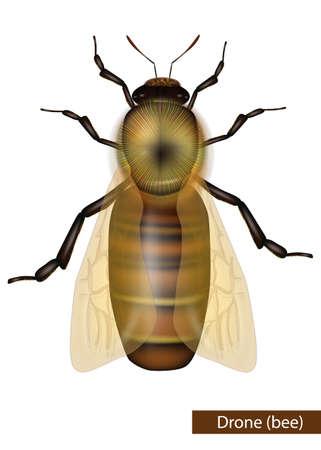 Realistic Drone bee on white background. Western Honey Bee or European Honey Bee worker Apis mellifera