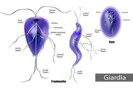 The structure of Giardia lamblia of Cyst and Trophozoite. Giardiasis. Stock Illustratie