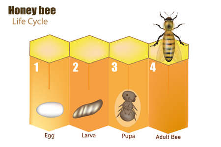 Honey bee life cycle. Stages of development of the bee