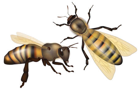 Two realistic honey bees on isolated white background. Vector
