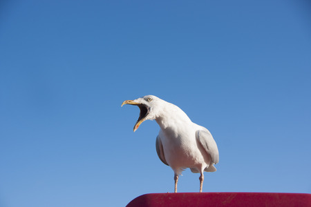 Seagull calling