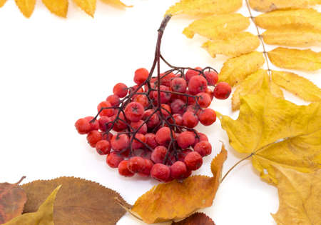 Bunch red berries on autumn leaves on a white background photo