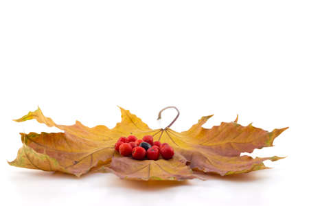 Black and red berries of a mountain ash on a maple autumn leaves photo