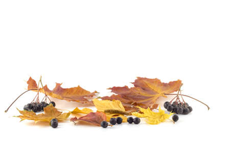 Rowan berries on the autumn leaves on a white background photo