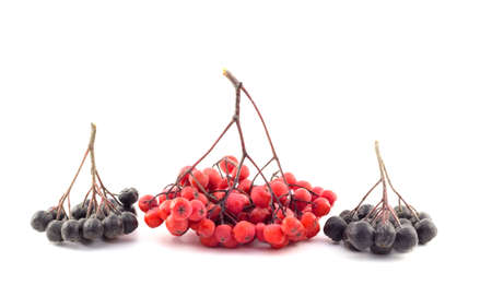 Bunch of red and black rowan on a white background photo
