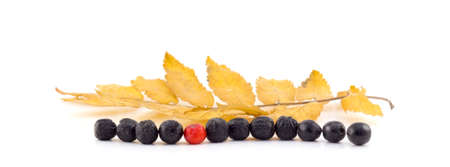 Rowan berries lie in a row on a white background photo