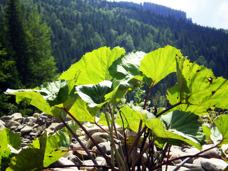 Plants  of mountains of Carpathians on stone in the rays of a bright summer sun on a background an emerald mountain peak   photo