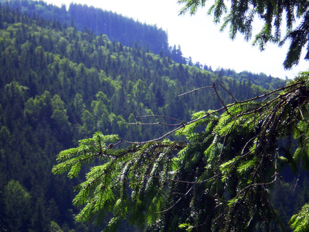 pinetree: The green branch of pine-tree closes a virgin mountain range
